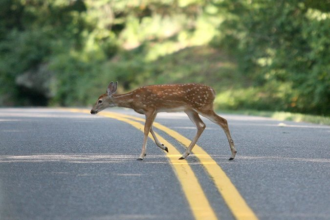 """Fawn on the Parkway"" by Eric McCarty"