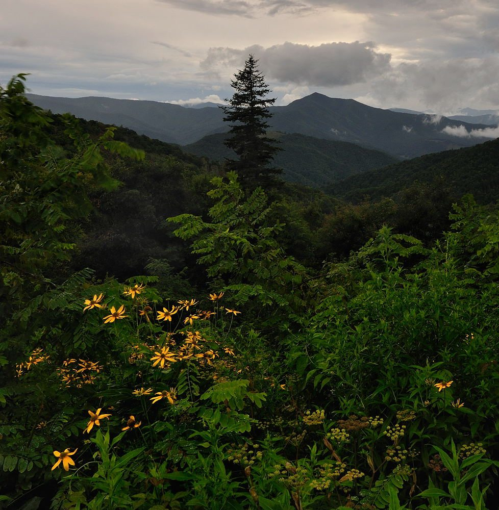 """""""Coneflowers at Mt. Pisgah Parking Area"""" by Jeff Burcher Photography"""