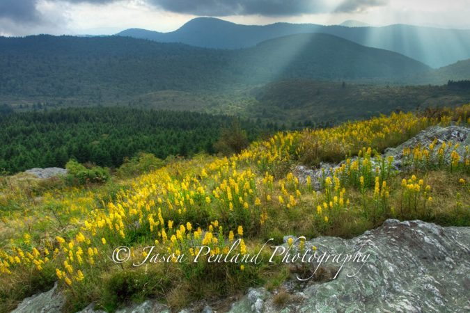 """Goldenrod at Blue Ridge Parkway Milepost 420"" by Jason Penland Photography"