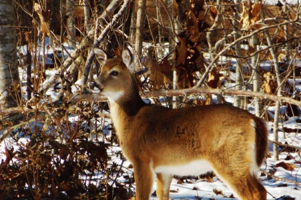 White-Tailed Deer in Mountain Snow