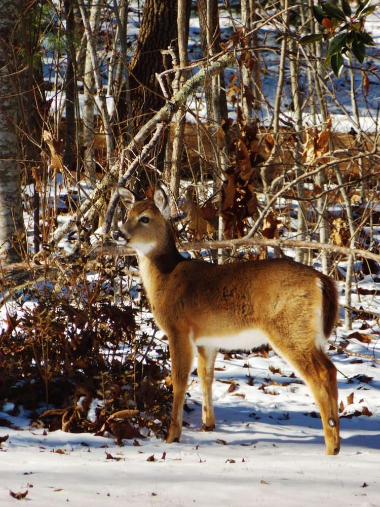 """""""White-Tailed Deer in Mountain Snow"""" by Michaela Hill Photography"""
