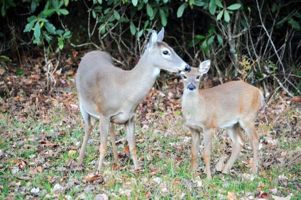 Deer at Price Park, Milepost 297