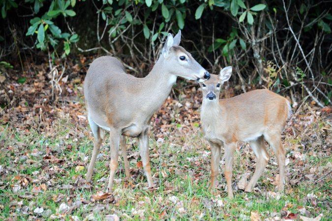 """Deer at Price Park, Milepost 297"" by Thomas Harper"