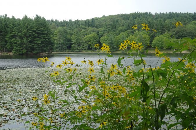 """Sunflowers at Bass Lake, Milepost 294"" by Linda Reese"