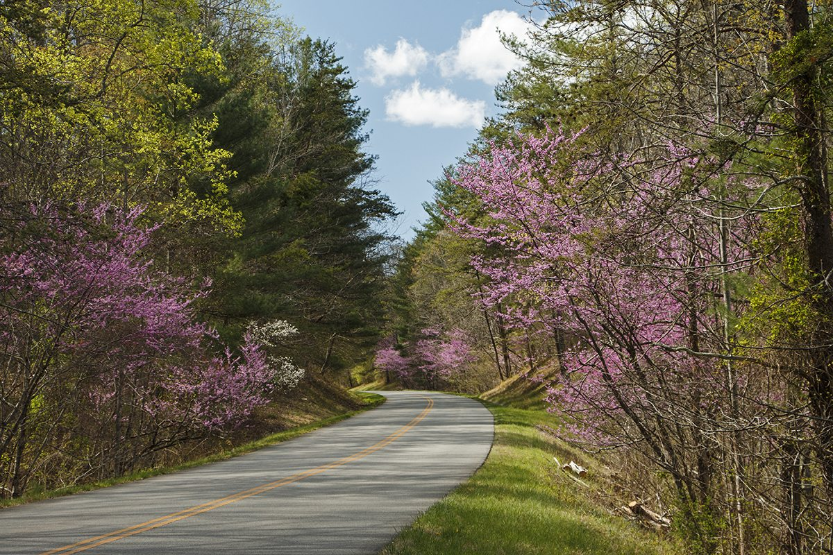 Redbuds In Roanoke Valley Virginia