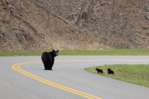 """A Bear and Her Cubs Cross the Parkway, Milepost 84"" by Sandy Wallace"