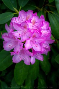 """""""Rhododendron at Grandview State Park"""" by Wangdu Gurung Photography"""