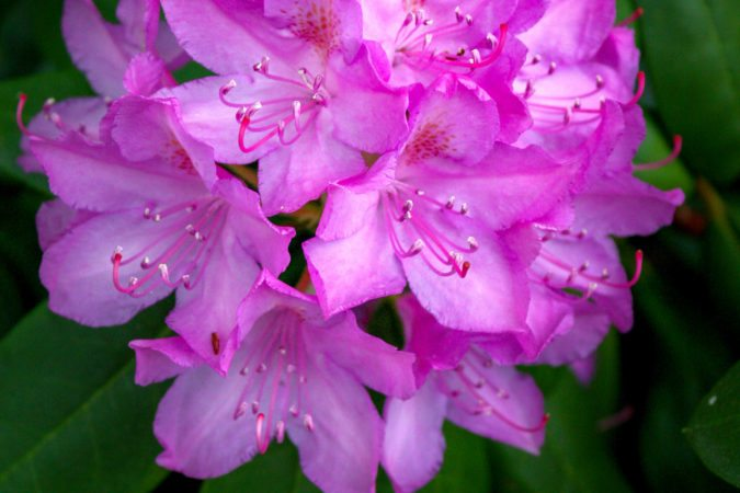 """Rhododendron at Grandview State Park"" by Wangdu Gurung Photography"