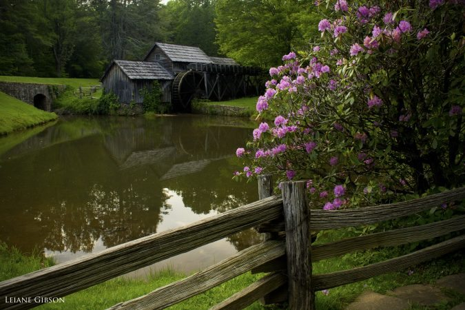 """Rhododendron at Mabry Mill, Milepost 176.1"" by Leiane Gibson"