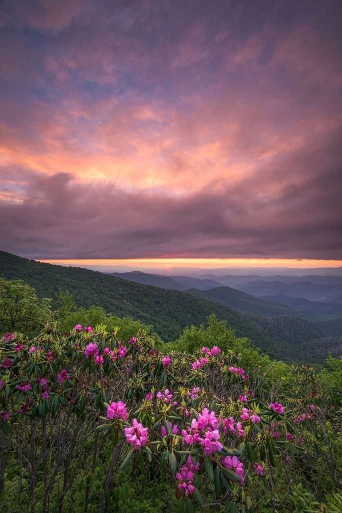 Rhododendron At Craggy Gardens By Justin Askew Photography
