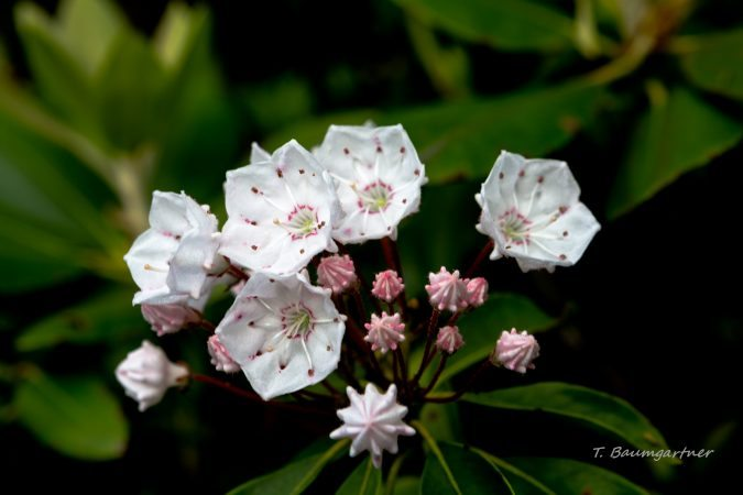 """Mountain Laurel on the Craggy Pinnacle Summit"" by Tim Baumgartner"