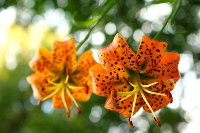 """Turk's Cap Lilies in Elk Pasture Gap, Milepost 404"" by Mandy Quinzi"