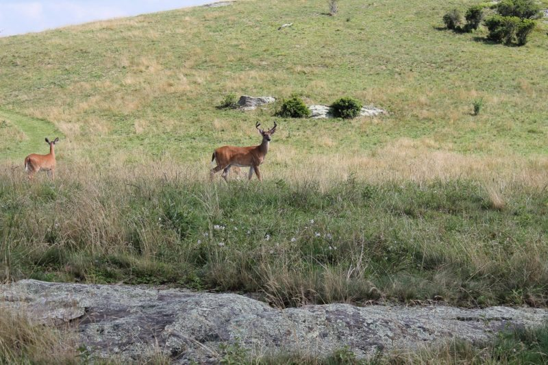 """""""Deer at Doughton Park, Milepost 241.1"""" by Terry Huffines"""
