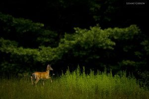 """""""Deer at the North Carolina/Virginia State Line"""" by Leiane Gibson"""
