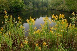 """""""Goldenrod at Sims Pond, Milepost 295.9"""" by J. Scott Graham"""