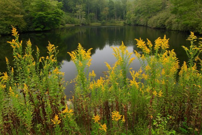 """Goldenrod at Sims Pond, Milepost 295.9"" by J. Scott Graham"