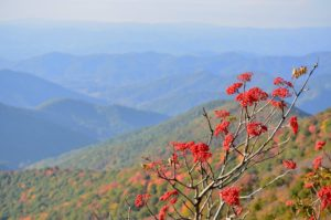 """Red Berries at Craggy Gardens, Milepost 364.6"" by Niloban Manorat"