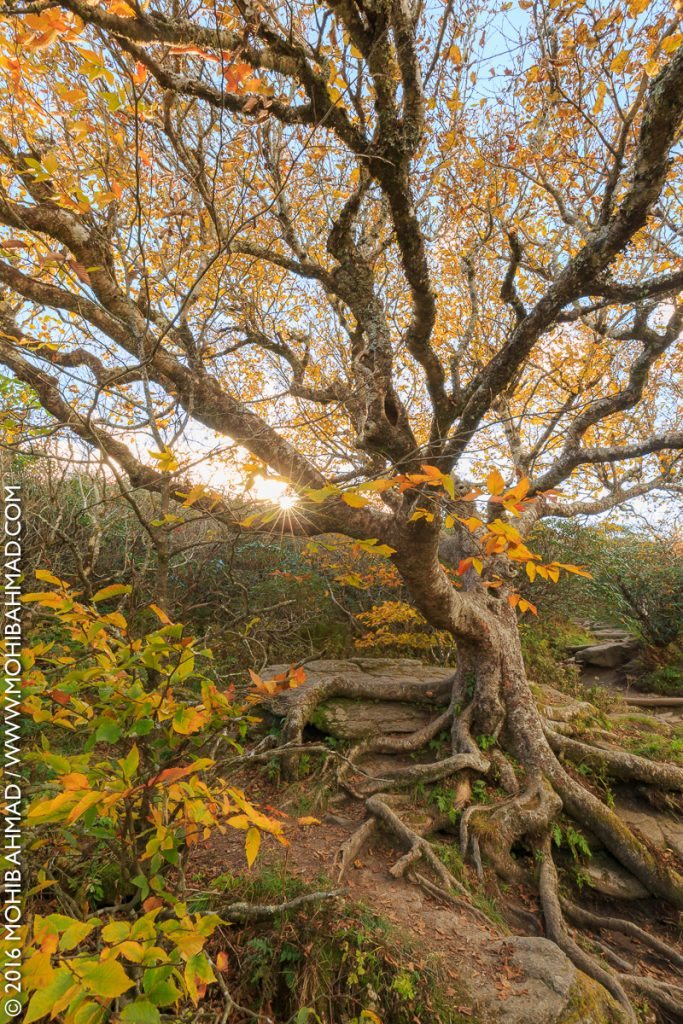 """""""Fall Color on the Craggy Pinnacle Trail, Milepost 364"""" by Mohib Ahmad"""