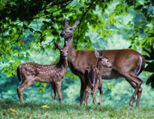 """Deer at Julian Price Campground, Milepost 297.1"" by Deborah Visbeck"