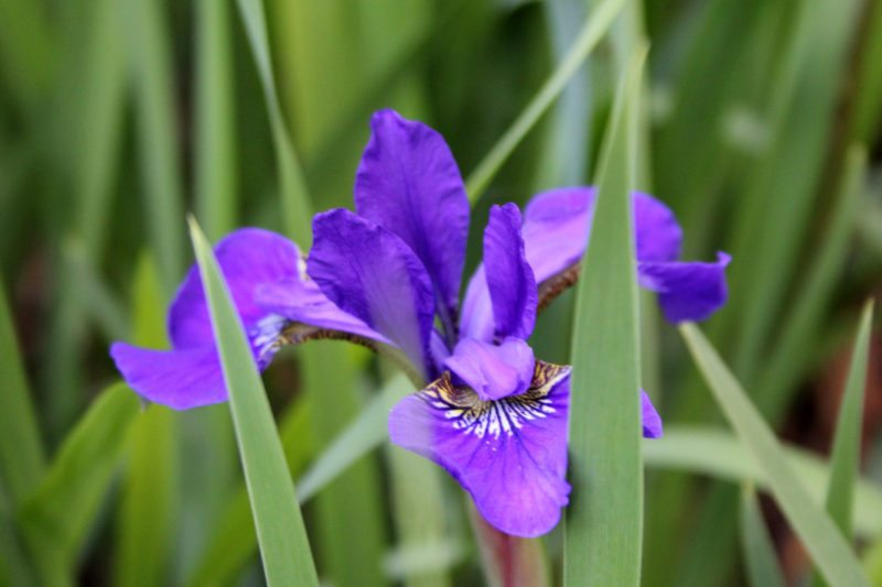 """Iris on the Parkway near Roanoke, Virginia"" by Sarah Vell Photography"