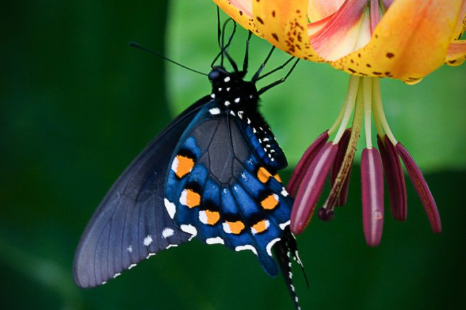"""Black Swallowtail on Turk's Cap Lily at Milepost 433"" by Danny Wilson"