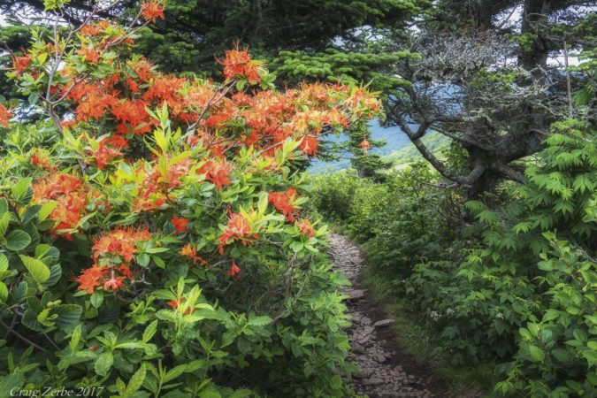 """Flame Azalea on Roan Mountain"" by Craig Zerbe"