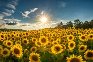 """Sunflowers along Hwy 74 near Columbus, NC"" by HD Carolina"